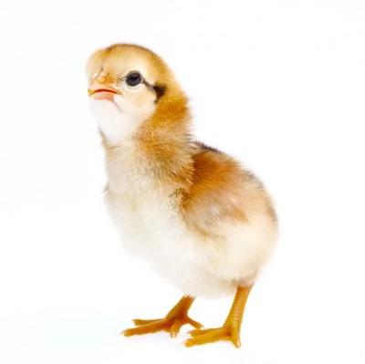 Werktijdverkorting door vogelgriep?